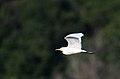 Garza Ganadera, Cattle Egret, Bubulcus ibis (11914912465).jpg