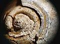 Gastropoda Omphalotrochus canaliculatus Ttautschold IMG 6509обр 03.jpg