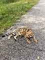 Gatto Bengala a all'aperto.jpg