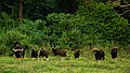 Gaur herd in Kui Buri national park (22884695313).jpg
