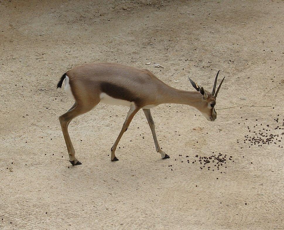 Gazella spekei (Speke's Gazelle)