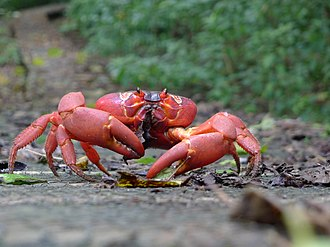 Christmas Island red crab - Red crab eating dry leaves.