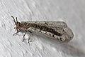 Geflecktflüglige Ameisenjungfer Euroleon nostras 7347.jpg