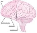 Gehirn 3.png