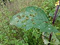 Gele Bloom 2 an'n Bullenbarg bi Nindörp 03.jpg