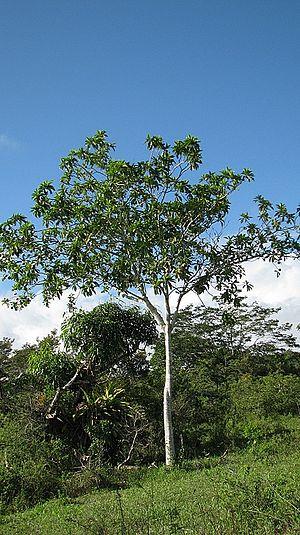 Genipa americana - Tree of Genipa americana.