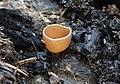 Geopyxis carbonaria Kohlenbecherling.jpg