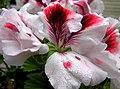 Geranium flower and dew.jpg