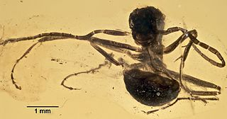 <i>Gerontoformica</i> genus of insects