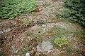 Gerry's Nose NFLD Juniperus horizontalis.JPG