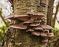 Gewone oesterzwam (Pleurotus ostreatus) 31-12-2020 (d.j.b.) 04.jpg