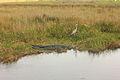 Gfp-florida-everglades-national-park-landscape-with-alligators-and-heron.jpg