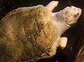 Gfp-kemps-ridley-sea-turtle.jpg