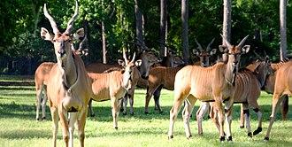 Giant eland - Subspecies T. d. gigas