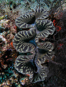 Giant clam black&white komodo.jpg
