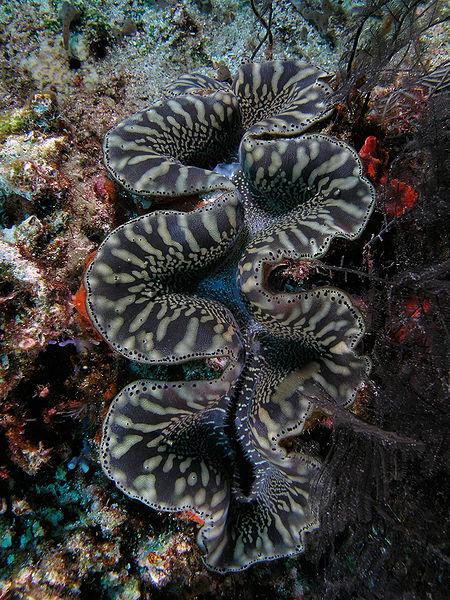 File:Giant clam black&white komodo.jpg