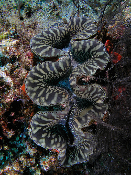 Giant clam black&white komodo