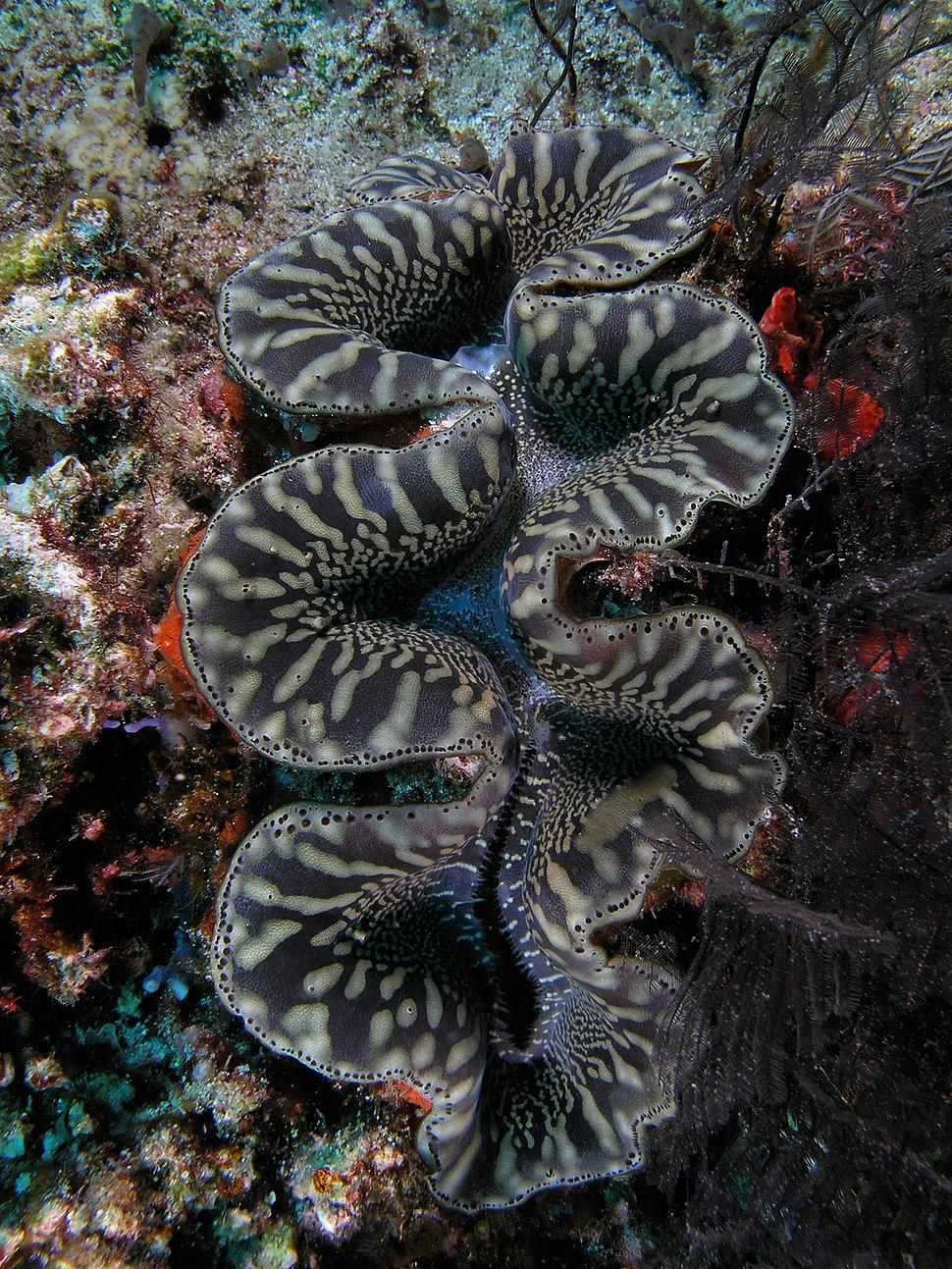 Giant clam black&white komodo