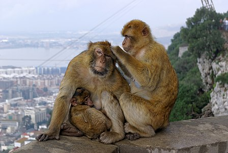 Gibraltar Barbary Macaques (Macaca sylvanus)