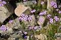 Gilia flavocincta.jpg