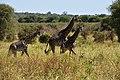 Giraffe, Tarangire National Park (31) (28100453954).jpg