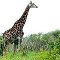 Giraffe (Giraffa camelopardalis) male ... (51133127128).jpg