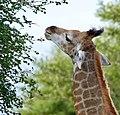 Giraffe (Giraffa camelopardalis) young browsing ... (50675027678).jpg