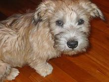 Glen of Imaal Terrier.jpg