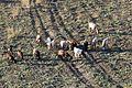 Goat flock, Kahramanmaraş 2016-11-18 01-1.jpg