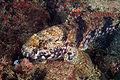 Gobius paganellus head.jpg