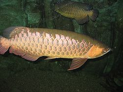 Red-tailed golden arowana. Although the scales are golden, the anal and caudal fins are reddish-brown.