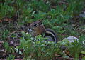 Gold mantled Ground Squirrel.jpg