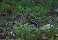 Gold mantled Ground Squirrel.jpg