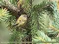 Goldcrest (Regulus regulus) (50792327371).jpg