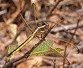 Golden-winged Skimmer. Libellula auripennis. Female (26784890929).jpg