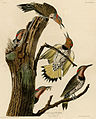 Golden-winged Woodpecker (Audubon).jpg