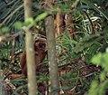 Golden Bamboo Lemur (Hapalemur aureus) eating bamboo ... (43627881690).jpg
