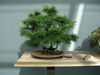 Pseudolarix - Bonsai example.