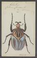Goliathus - Print - Iconographia Zoologica - Special Collections University of Amsterdam - UBAINV0274 022 01 0002.tif