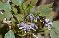 Goodenia grandiflora NT.jpg