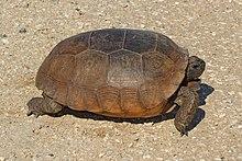 Gopher Tortoise - Gopherus polyphemus, Lake June-in-Winter Scrub State Park, Lake Placid, Florida - 31527638716.jpg