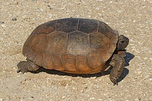 Gopher tortoise - Gopher tortoise at Lake June in Winter Scrub State Park in Highland County, Florida, U.S..