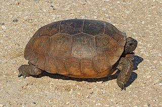 Gopher tortoise species of reptile