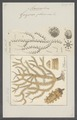 Gorgonia placomus - - Print - Iconographia Zoologica - Special Collections University of Amsterdam - UBAINV0274 109 02 0006.tif