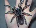 Grammostola rosea on left hand.jpg