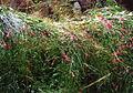 Gran Canaria (Flora) 03.jpg