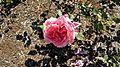 Grandiflora - Dean Collins 3 (cr).JPG