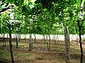 Grapes Plantation @ Cumbum, Theni - panoramio (3).jpg