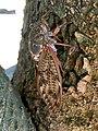 Graptopsaltria nigrofuscata on the tree.jpg