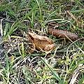 Grasfrosch Tannenzapfen 1.jpg